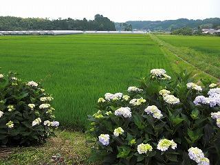 梅雨のあいまの田んぼ.jpg