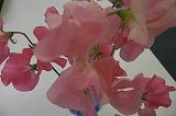 ピンクのスイトピー.jpg