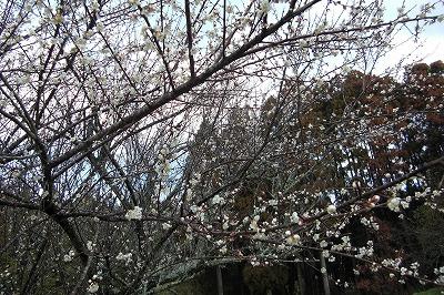 梅が満開.jpg
