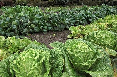 冬野菜どやっと.jpg