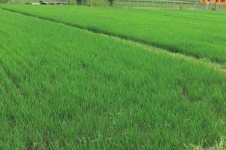 平塚の稲.jpg