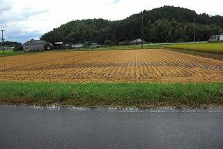 宮崎は稲刈り.jpg