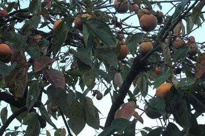 柿がたわわわわ.jpg
