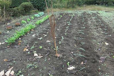 たまねぎを植える.jpg