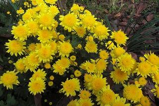 黄色い小菊.jpg