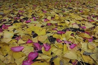 落ち葉のじゅうたん.jpg
