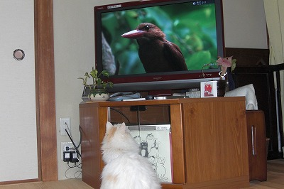 ネコもテレビを見入る.jpg