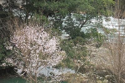桜遠望.jpg