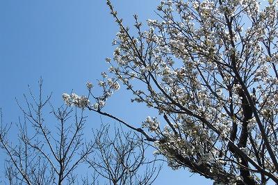 葬儀の日は抜けるような青空と桜が咲いていた.jpg