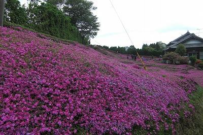 芝桜のおうち.jpg