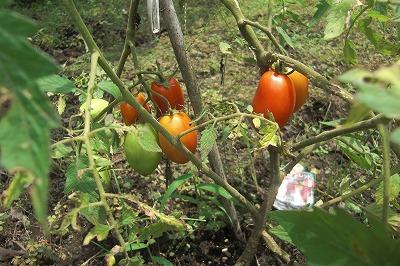 トマトがお目見え.jpg