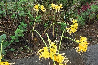 道端に咲く黄色い彼岸花.jpg