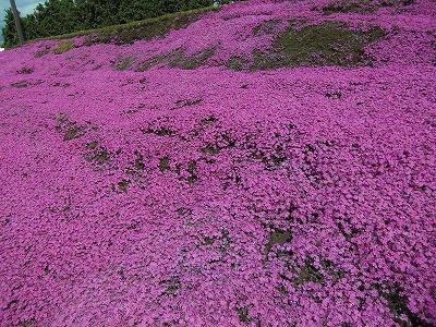 新富の芝桜.jpg
