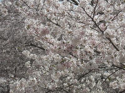 西都原の桜.jpg