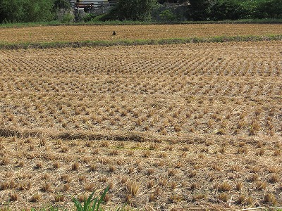 稲刈り始まる.jpg