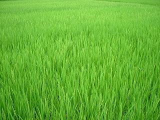 稲穂ののびた田