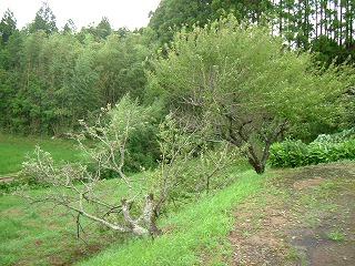 倒れた梅の木