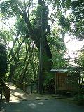 クスの老大木1
