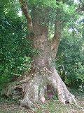 クスの老大木2