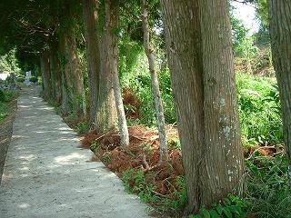 枯れた杉の葉