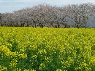 西都原の菜の花と桜.jpg