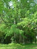 いちょうの巨木.jpg