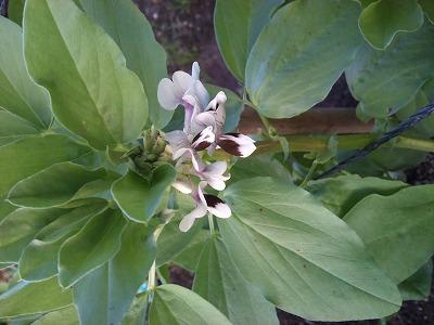 ソラマメの花.jpg