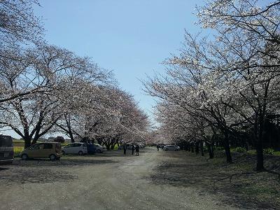 2012西都原の桜.jpg