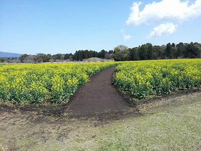 2012西都原の菜の花.jpg