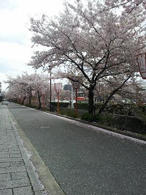 桜吹雪の鴨川川筋.jpg