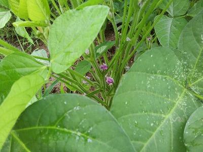 大豆の花.jpg