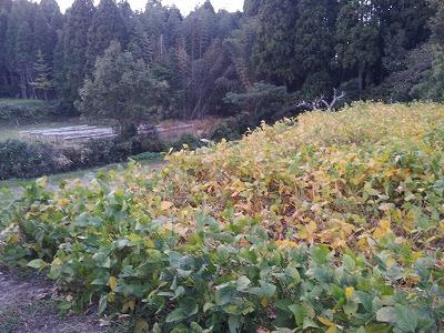 大豆畑の秋.jpg